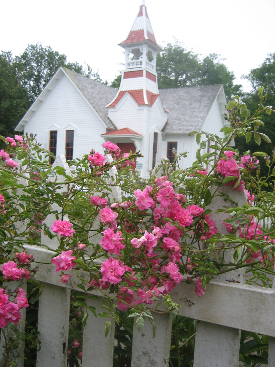 old fashioned roses sydney of oysterville
