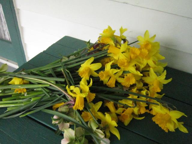 Daffodil Booty