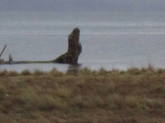 Snag at Anchor on Willapa Bay