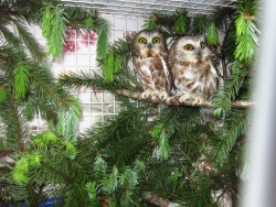 Saw Whet Owls