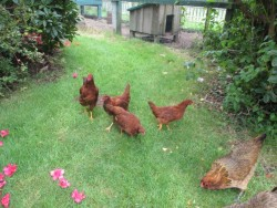 backyard chickens sydney of oysterville