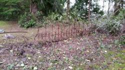 Fence Remnants Hidden in Salal