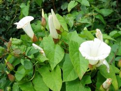 Dratted Bindweed