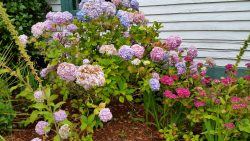 Hydrangeas of Every Color